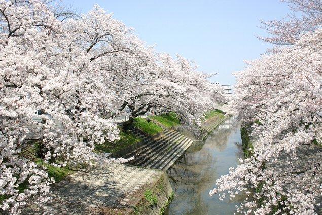 高田千本桜の桜