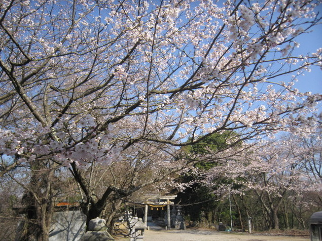 虎御前山の桜