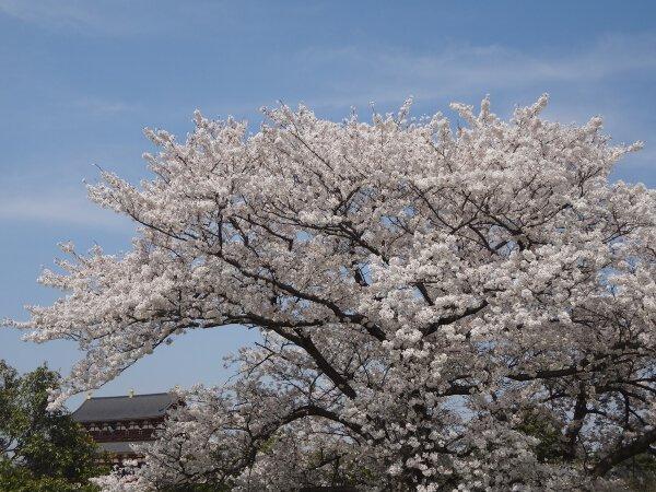 平城宮跡資料館の桜