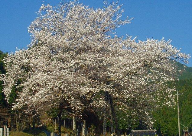 尾所の桜の桜