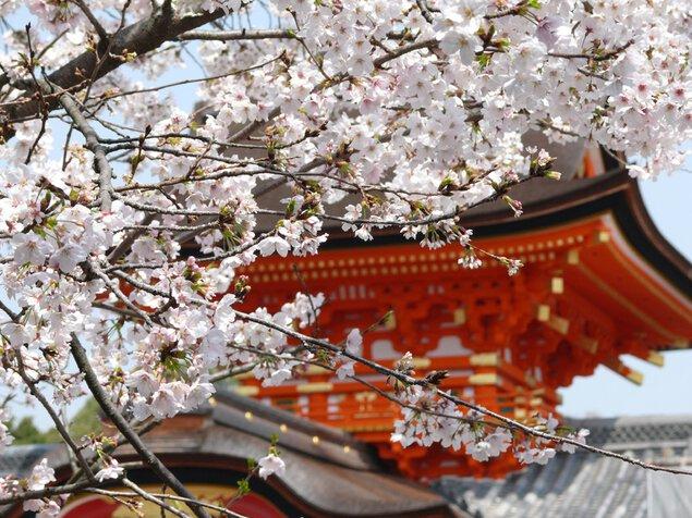 石清水八幡宮の桜
