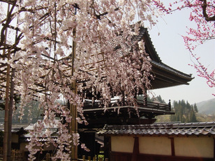 【桜・見頃】瑞龍寺のしだれ桜
