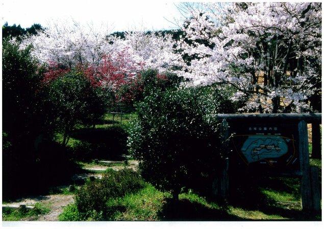 水口古城山の桜