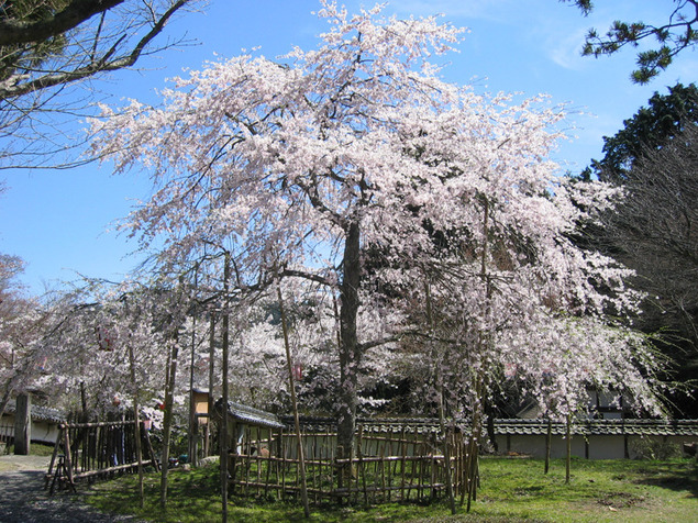 清瀧寺徳源院の桜