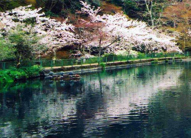 滋賀県醒井養鱒場の桜