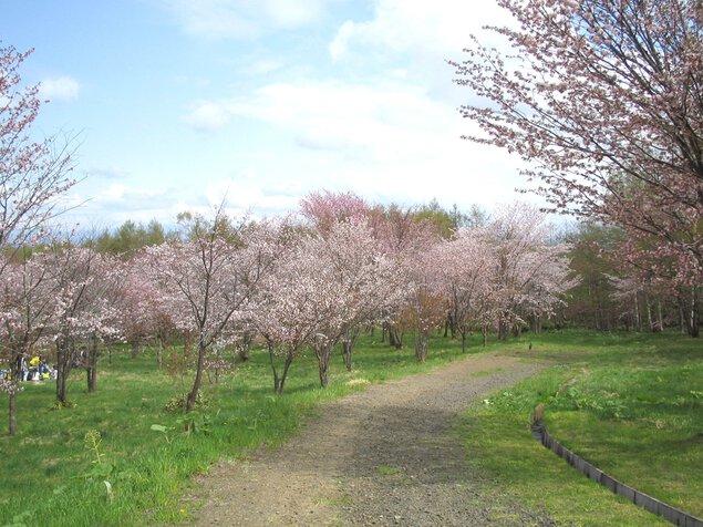 天都山桜公園の桜