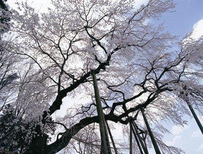 奥山田のしだれ桜の桜