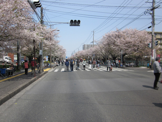 健軍自衛隊通りの桜