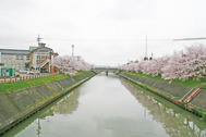 下条川千本桜