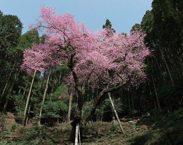 虎尾桜の桜