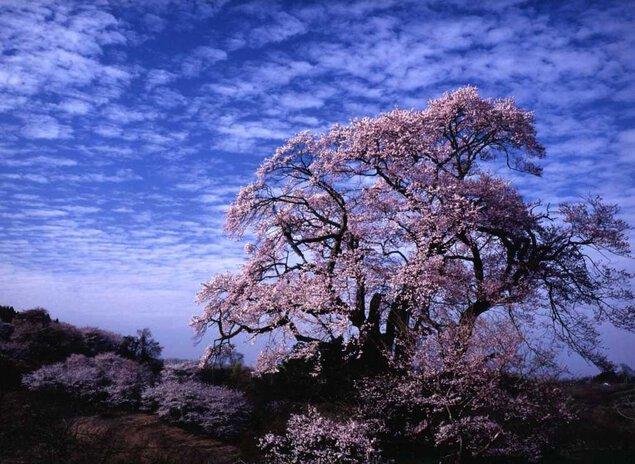 塩ノ崎の大桜の桜