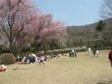 【桜・見頃】石川県農林総合研究センター林業試験場樹木公園
