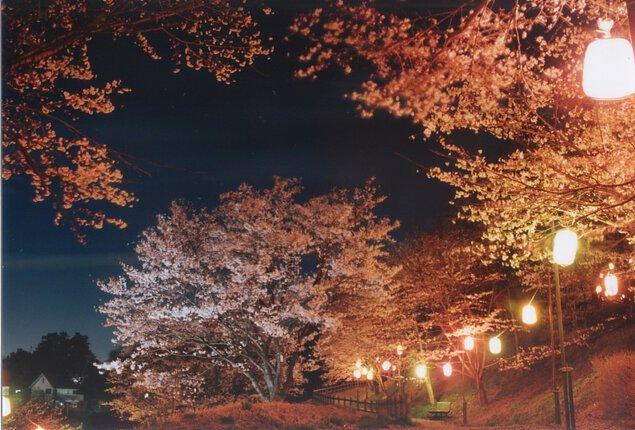 さくらの山公園の桜