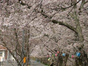 金川桜並木