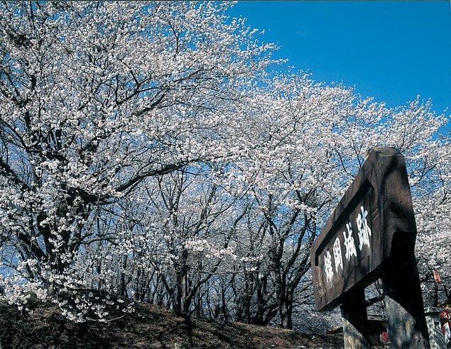 【桜・見頃】雉岡城跡