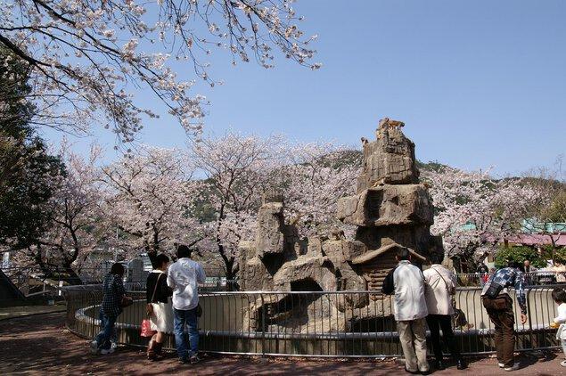 周南市徳山動物園の桜