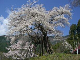 【桜・見頃】本郷の千年桜