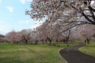 国営みちのく杜の湖畔公園(ヤマザクラ)