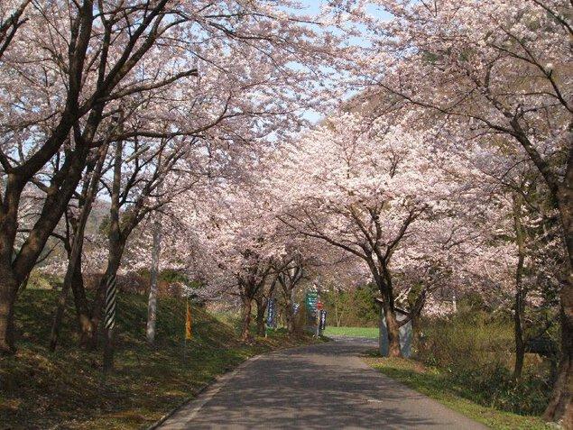 【桜・見頃】大館市ベニヤマ自然パーク