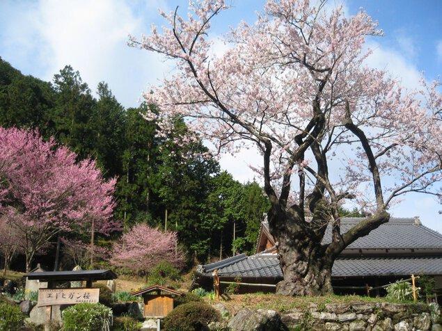 春谷寺エドヒガン桜
