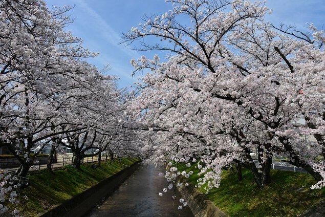 大口町 五条川の桜並木の桜