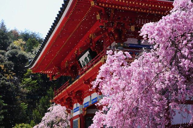 勝運の寺 勝尾寺の桜