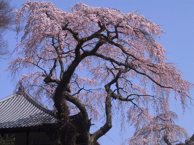 【桜・見頃】善福寺
