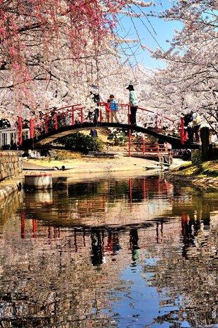【桜・見頃】朝日山森林公園