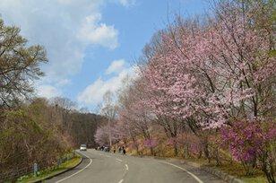 ほべつ道民の森 つつじとアスパラの春まつり