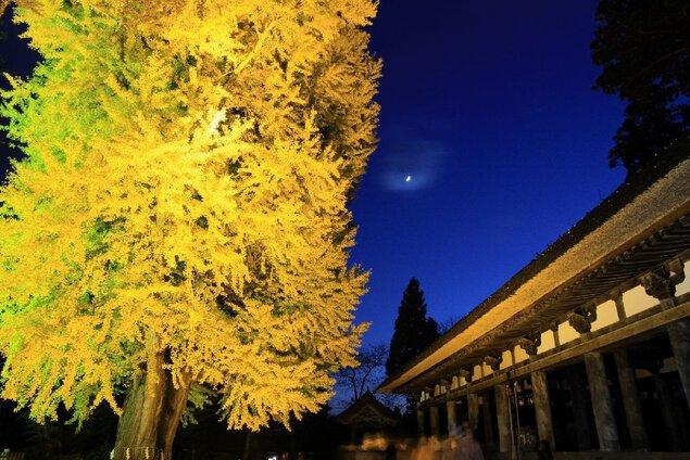 新宮熊野神社の大イチョウの紅葉
