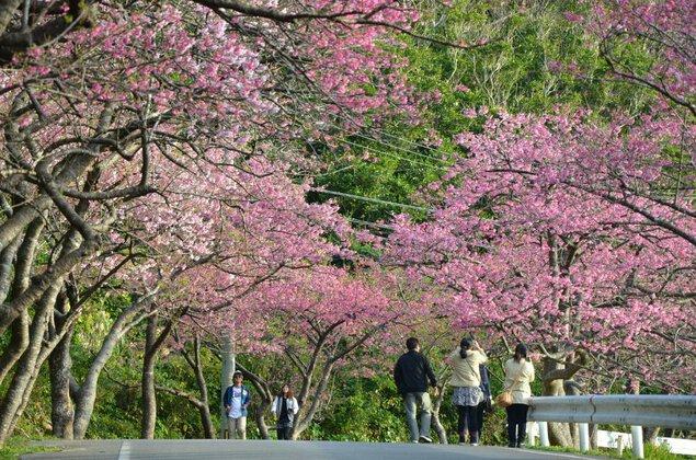 第40回 もとぶ八重岳桜まつり