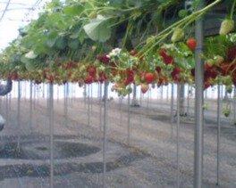 つねずみ苺園 いちご狩り