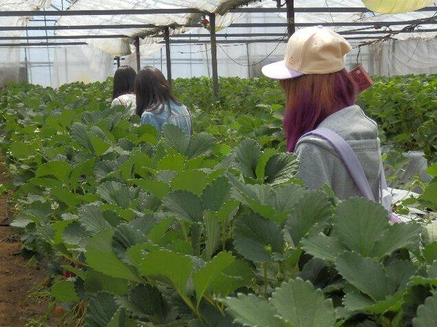ひじかた洋蘭園 イチゴ園