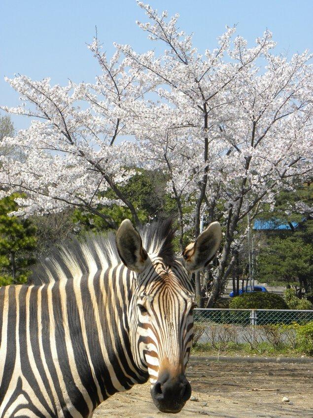 埼玉県こども動物自然公園の桜