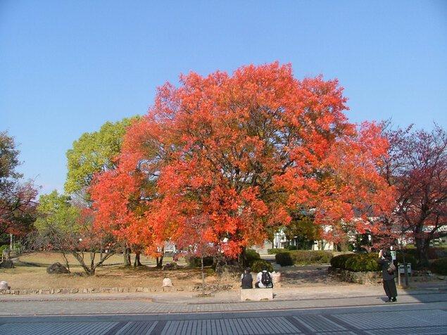 田中苑 楷の木の紅葉
