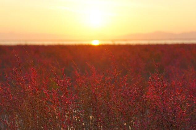 シチメンソウ群生地の紅葉