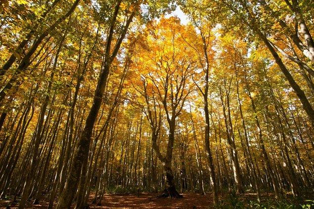 安比高原ブナ二次林の紅葉