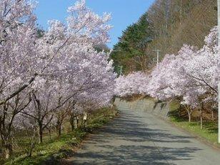 【桜・見ごろ】三ッ峠さくら公園の桜並木
