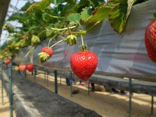 獲れたてを味わうイチゴの収穫体験