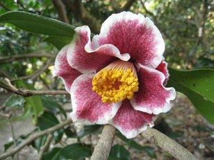 【花・見ごろ】服部緑地都市緑化植物園のツバキ
