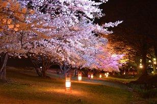 【桜・見ごろ】信玄堤公園