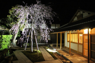 【桜・見ごろ】紅峰山興願寺の枝垂桜