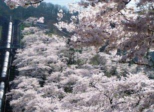【桜・見ごろ】鹿留発電所