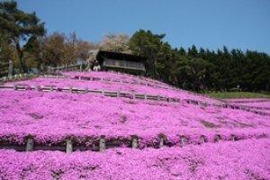 【花・見ごろ】ふるさとの森公園 薬師山の芝桜