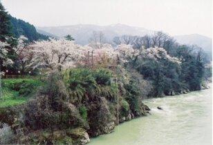 【桜・見ごろ】古宮公園