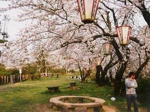 【桜・見ごろ】一本松総合運動公園