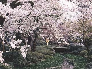 【桜・見ごろ】兼六園