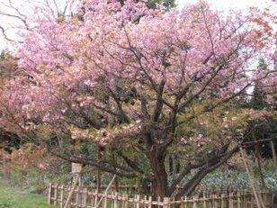 【桜・見ごろ】火打谷のキクザクラ
