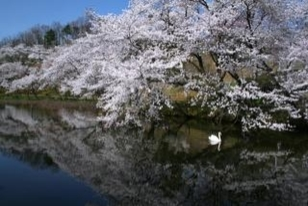 【桜・見ごろ】奥卯辰山健民公園