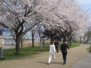 【桜・見ごろ】木場潟公園